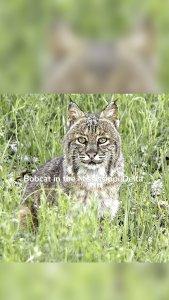 Bobcat in the Mississippi Delta