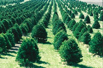 A Christmas tree farm in Iowa, United States.