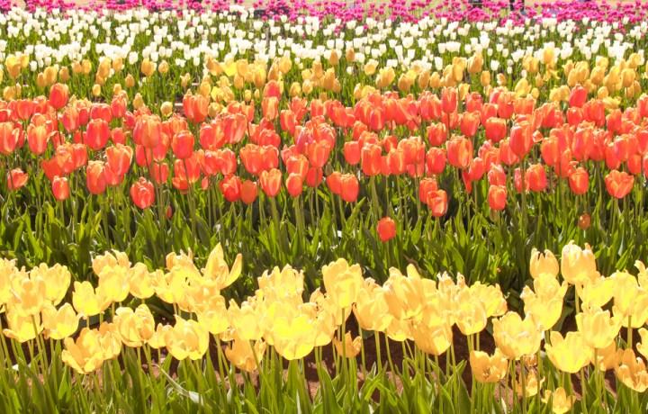 spellboudn travels tesselaar tulip festival