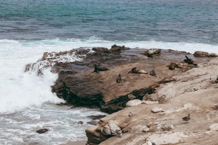 spellbound travels la jolla seals and sea lions