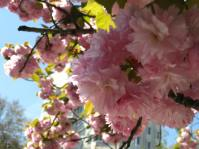 close up pink blossom in Paris