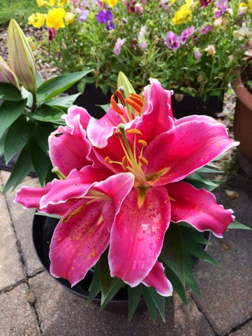 My New Lily