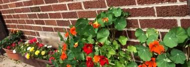 Ornamental Peppers, Moss Roses, Nasturtium