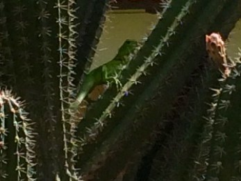 I had to chase this iguana around and around these cacti as he wouldn't pose for a picture. Finally got him in profile!