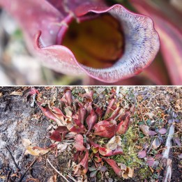 Pitcher plant - Sarracenia purpurea