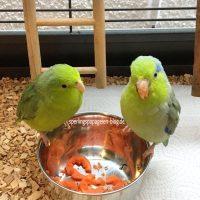 Obst und Gemüse für Sperlingspapageien