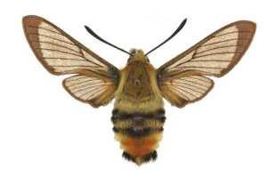 Hemaris tityus femelle