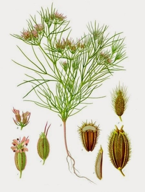 Cuminum_cyminum_-_Köhler–s_Medizinal-Pflanzen-198
