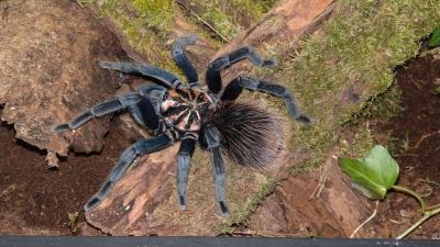 Xenesthis sp.blue