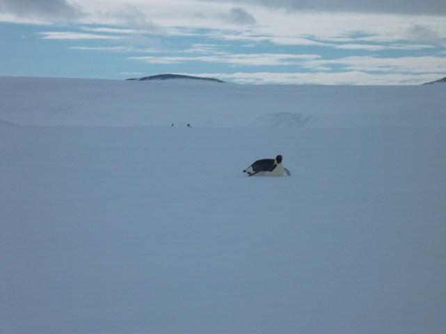 Scootchin' along the ice shelf.