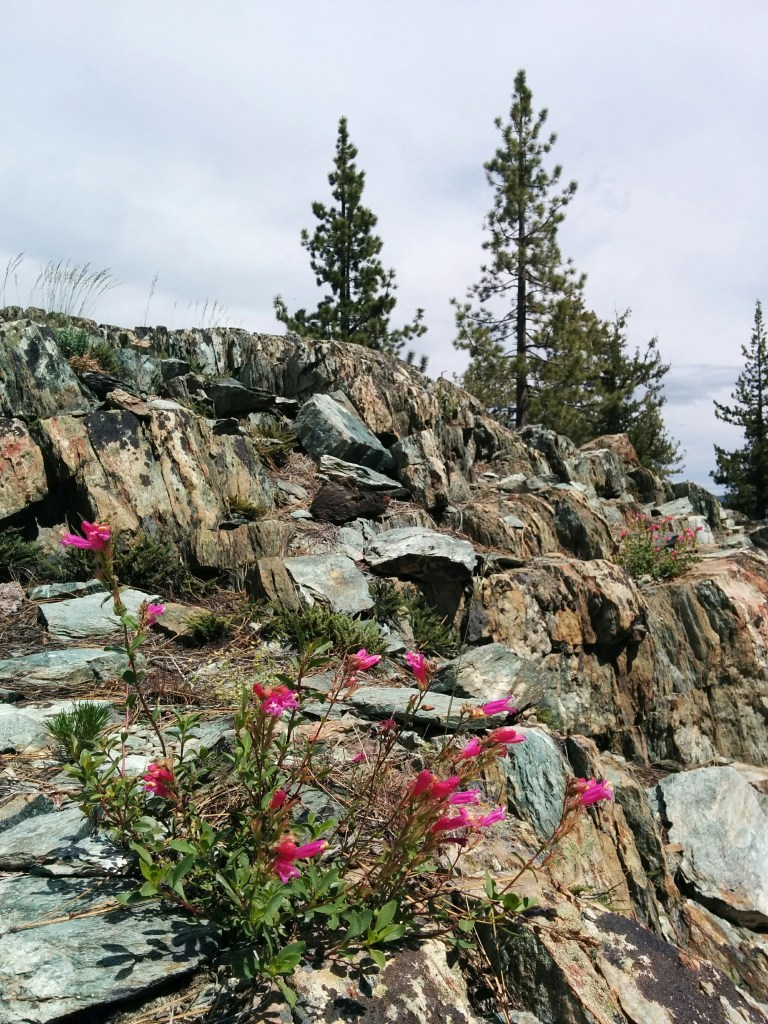 brilliant pink penstemon and rock at Fraizer Falls