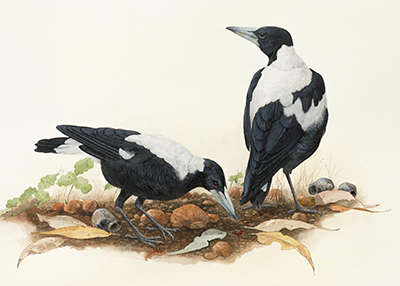 GC10 Magpies