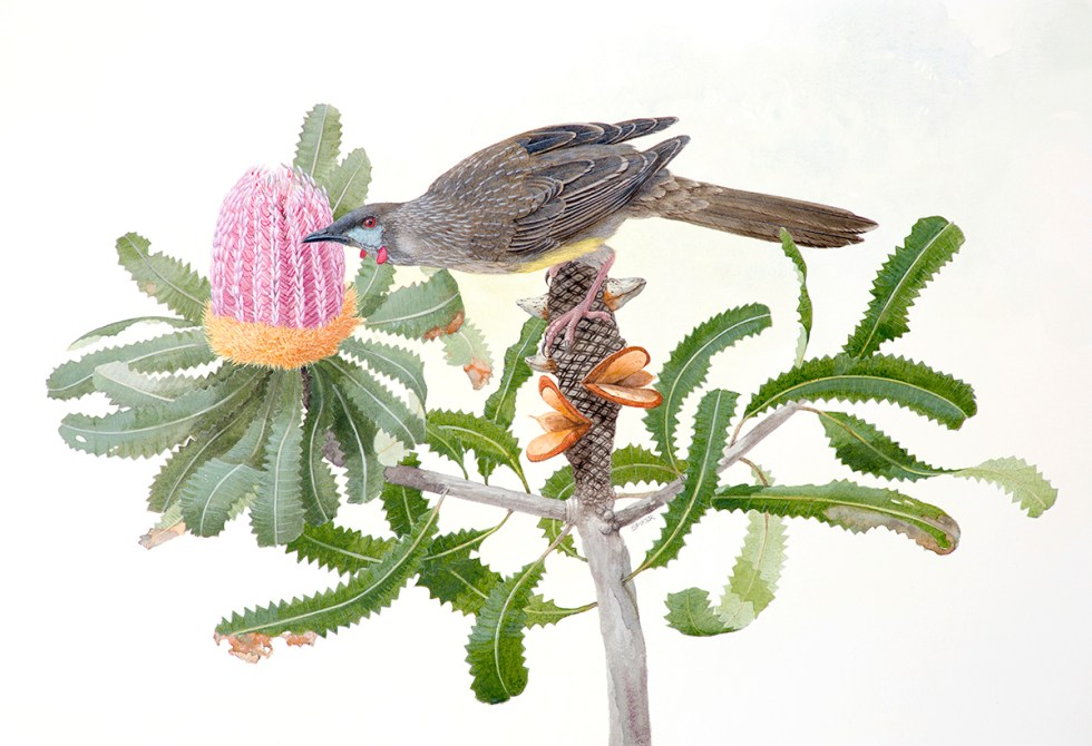48 RED WATTLEBIRD ON BANKSIA M copy