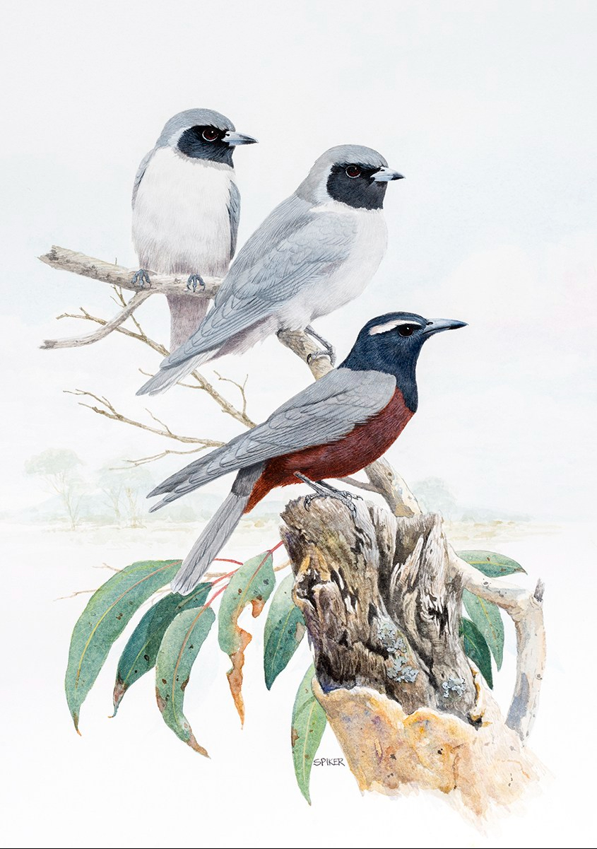 A3N38 Wood Swallows At rest copy