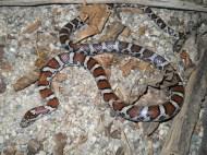 eastern-milk-snake