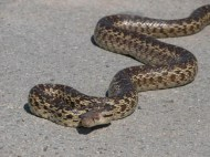 Gopher Snake a