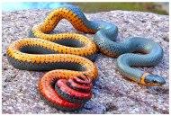 snakecc