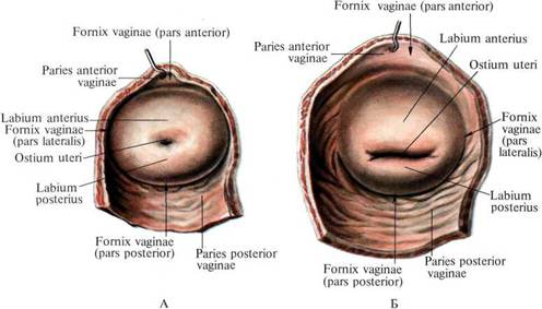 """""""ostium uteri"""" ile ilgili görsel sonucu"""