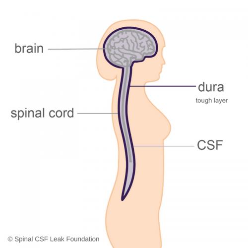 anatomy-brain-spine-dura-csf