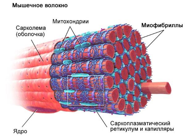 Cu un mușchi marcat din spate, miofibrile se umflă și se umflă