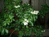nameless white evergreen flowers