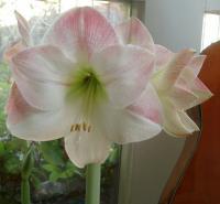 Appleblossom amaryllis