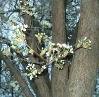 Flowering plum in spring, ready to open up