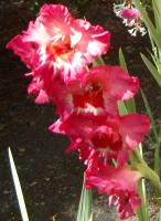 gladiolus and a little white honeysuckle behind it