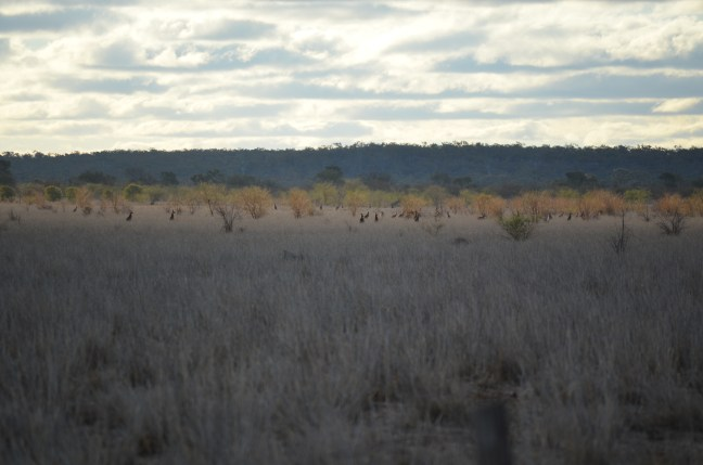 Needless to say, there were A LOT of kangaroos. These mobs of Eastern Grey Kangaroo.