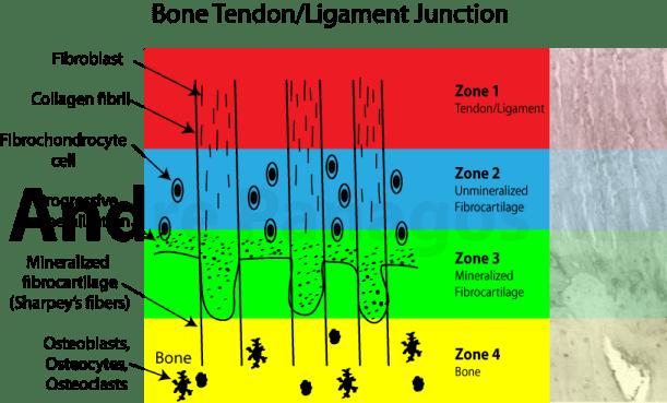 Bone tendon ligament junction