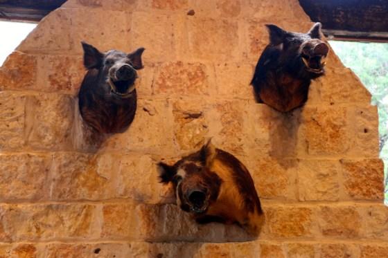 We love wild boars! Here are their Texan cousins.