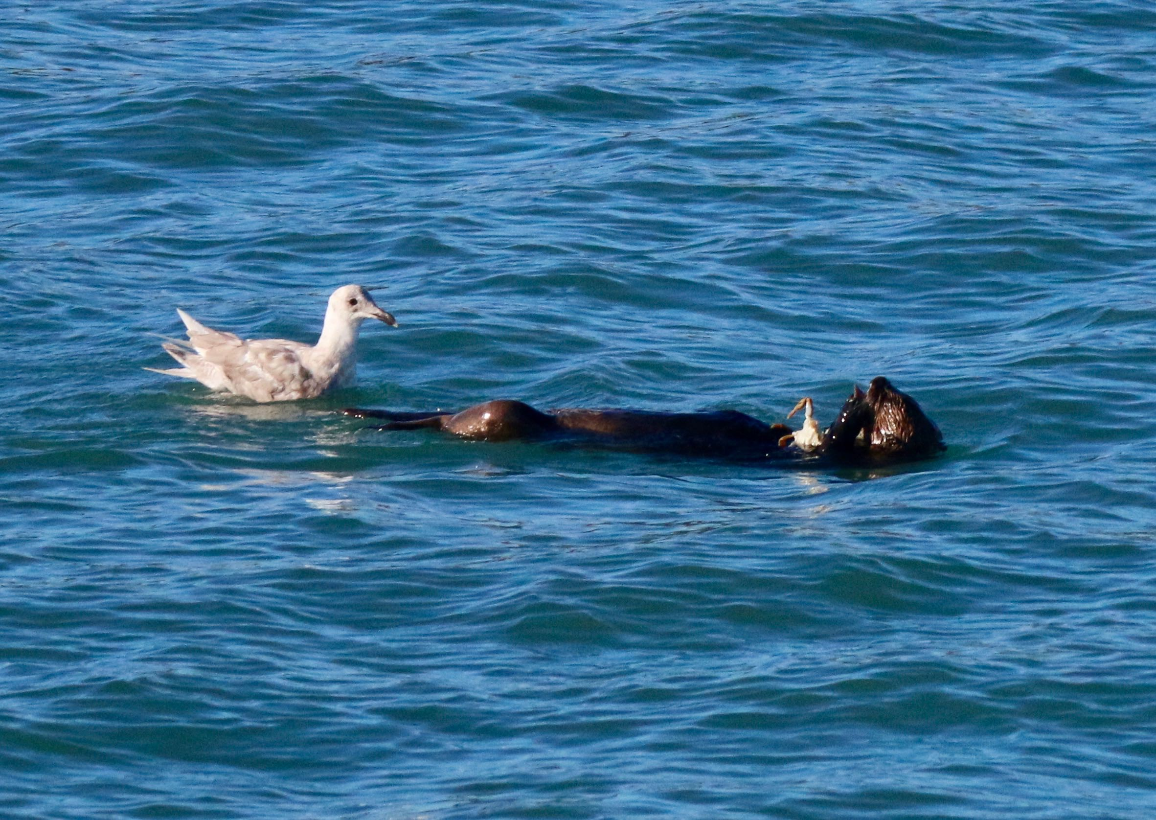 Sea otter lunching on crab in Homer boat basin. Sea gull hopeful for leftovers.