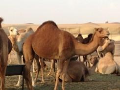 Camel farm.