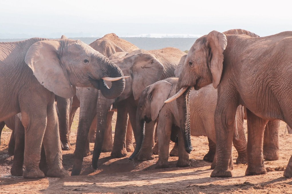 A group of elephants are at the watering hole - one has her trunk in her mouth. A baby elephant is in the background.