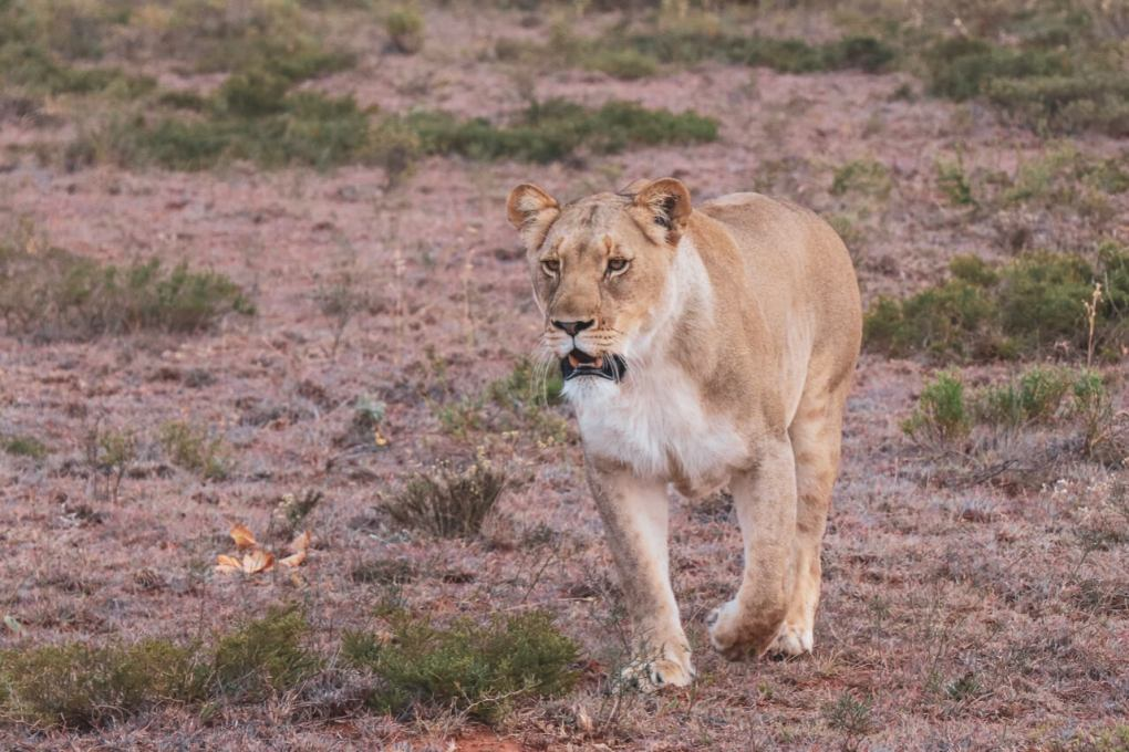 A lioness walks toward the camera, on the prowl for antelope in the distance behind the camera lens.