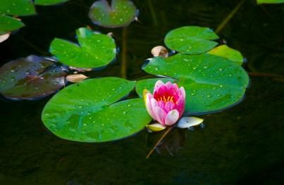 Chinese Garden Lotus