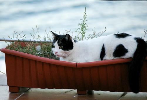 Planter Cat - Istanbul