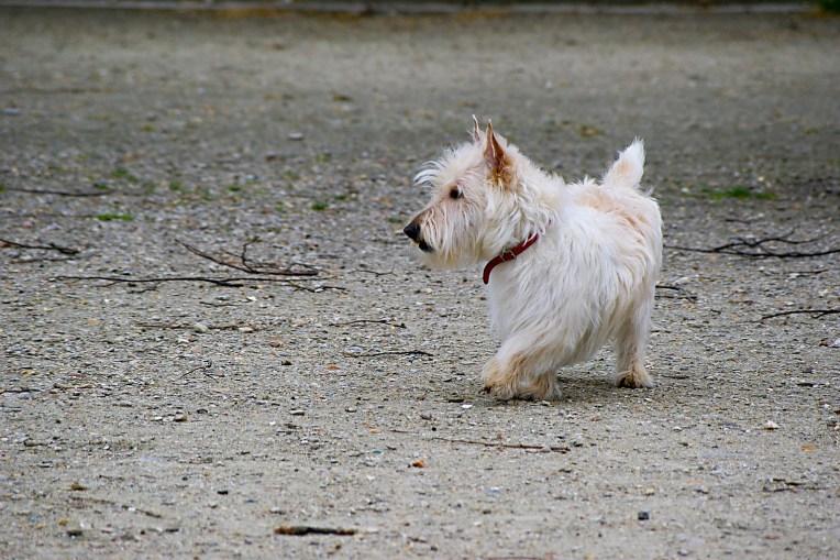 White Dog - Paris