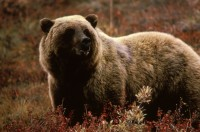 Brown Bear, Mammals, Animal Messages and Totems, spirit-animals.com