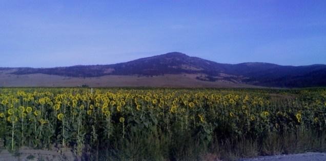 23 Sunflower