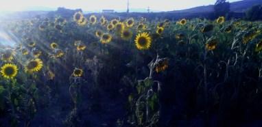 24 Sunflower