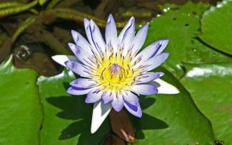 blue mauritius lotus