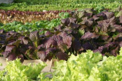 Rows of salad greens