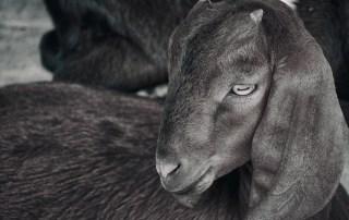 Bangladesh Goat