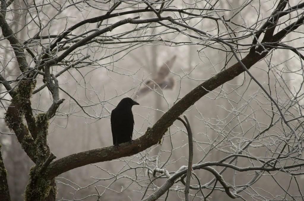 do crows symbolize death?