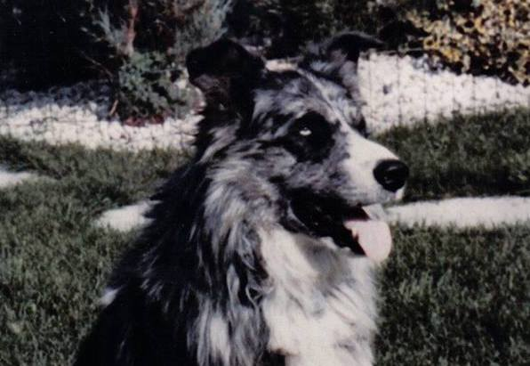 Another Dog Story – Kelpie 1967