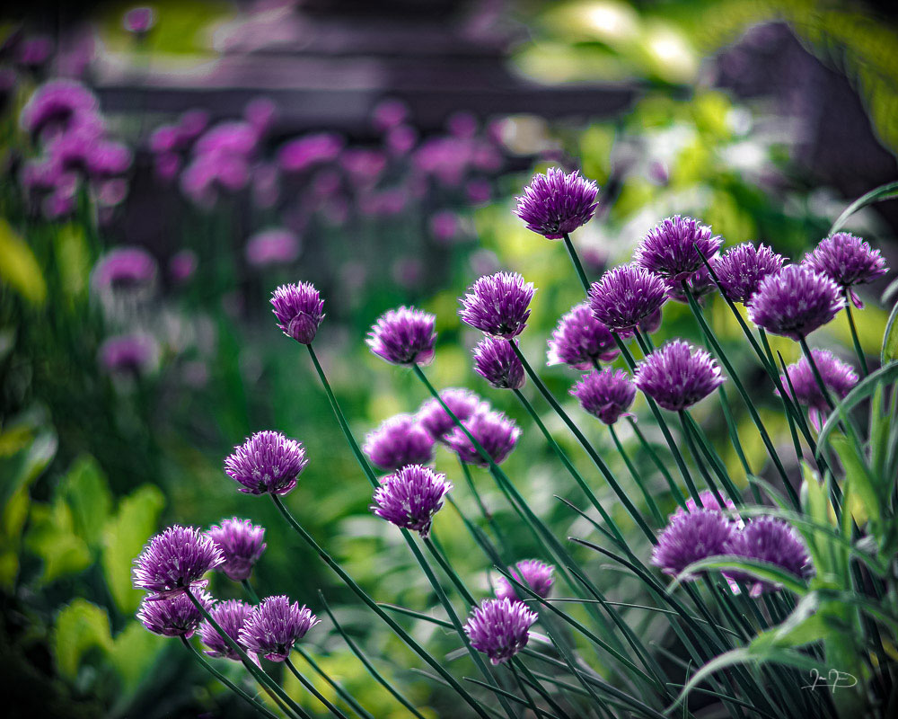 Chives in the Garden by Ian Davis