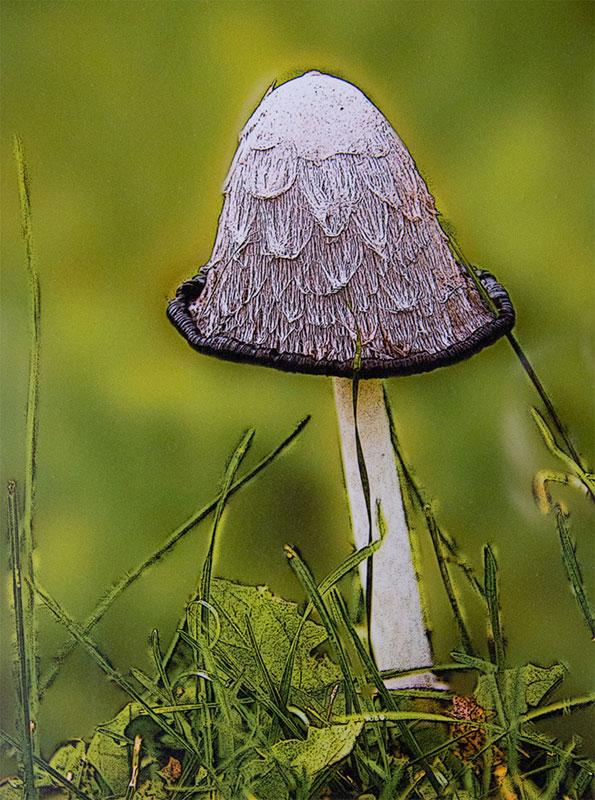 Inkcap Mushroom by Tom Groot