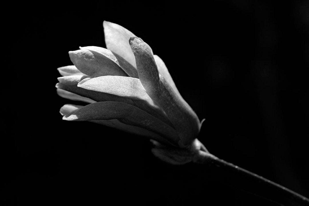 Magnolia Bud by Ken Solilo