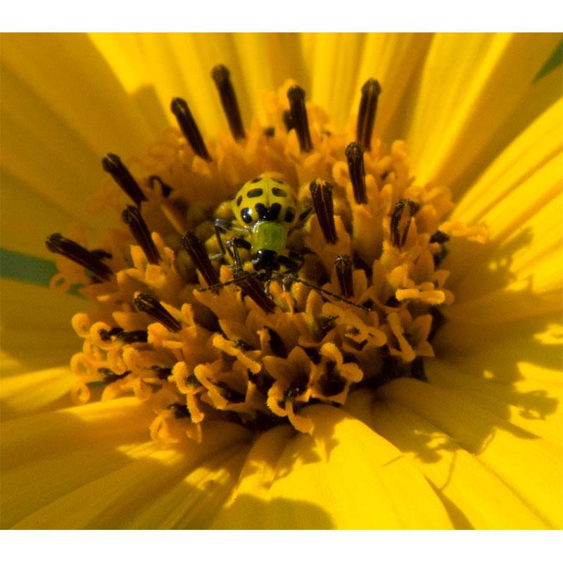 Maximilian bug by Tom Groot